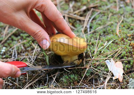 Hand cutting mushroom with a knife in forest