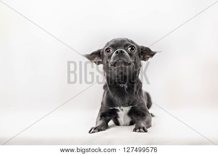 Very Funny Puppy Chihuahua
