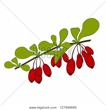 Barberries branch on white background. Hand drawn berries. Vector illustration.