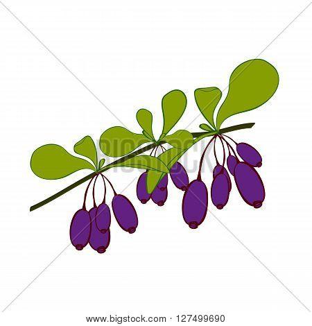 Honeysuckle branch on white background. Hand drawn berries. Vector illustration.