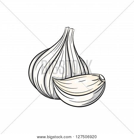 Vector garlic illustration. Clove of garlic, garlic isolated on white background. Vector sketch hand drawn - stock vector