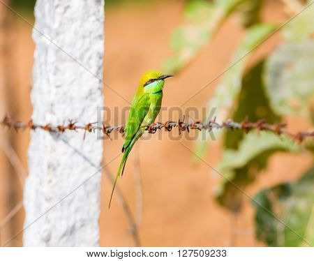 Green bee-eater perched on a rusty barbed wire fence on the lookout for insects.