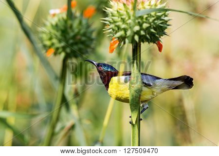 Male purple-rumped sunbird. This sunbird endemic to the Indian Subcontinent. They are small in size, feeding mainly on nectar but sometimes take insects, particularly when feeding young.