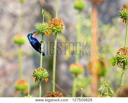 The purple sunbird is a small sunbird. Like other sunbirds they feed mainly on nectar, although they will also take insects especially when feeding young. These spectacular birds can be found in India