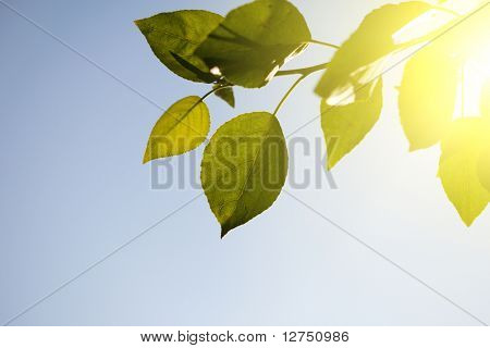 leaves of poplar and sunset