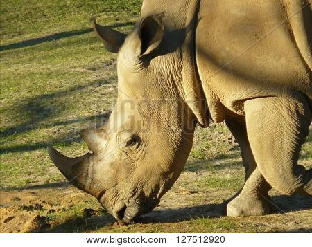 Endangered white rhino taken in nature, close up