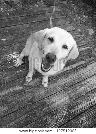 Lab dog on a wooden deck and in Black and White