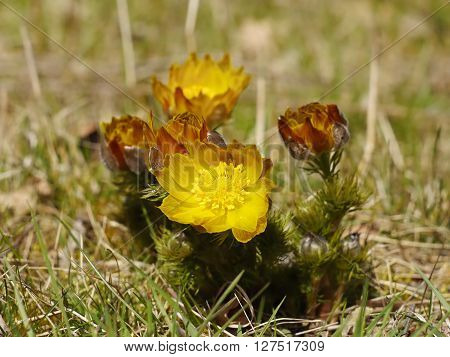 Adonis flower. Beautiful spring yellow flower on a meadow.