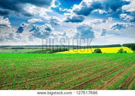 spring corn field and blue sky