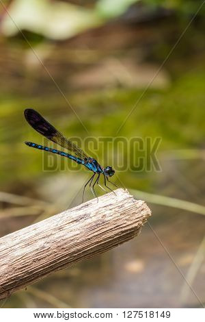 a cute damsel Flies at water fall