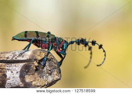 beetle (Diastocera wallichi tonkinensis) on nature background