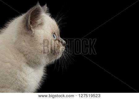 Closeup Portrait of Scottish Straight Colorpoint Kitten in Profile view Isolated on Black Background