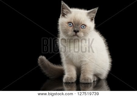 Cute Scottish Straight Colorpoint Kitten Sitting Front view Isolated on Black Background