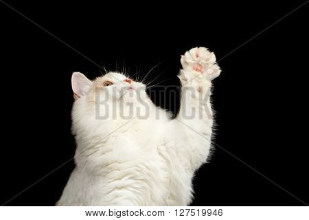 Closeup Playful White Scottish Straight Bicolor Cat Raising up Paw Isolated on Black Background