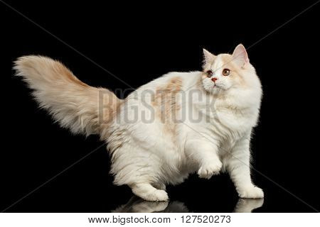 Playful White Scottish Highland Straight Bicolor Cat with Furry Tail Isolated on Black Background
