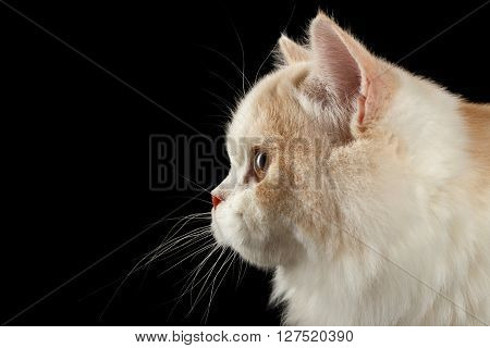 Closeup Portrait of Scottish Highland Straight Bicolor Cat in Profile view Isolated on Black Background
