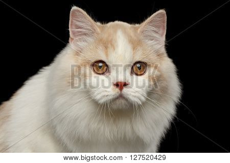 Closeup Portrait of White Scottish Highland Straight Bicolor Cat Isolated on Black Background