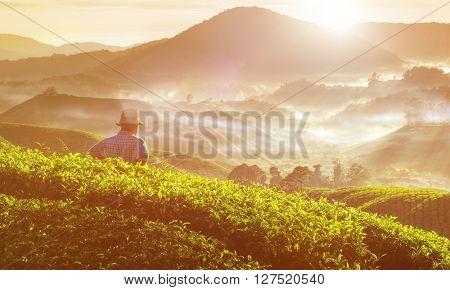 Farmer Tea Plantation Malaysia Concept