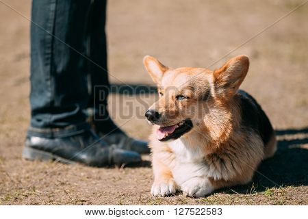 Funny Smiling Welsh Corgi Dog Sit Outdoor. The Welsh Corgi Is A Small Type Of Herding Dog That Originated In Wales.
