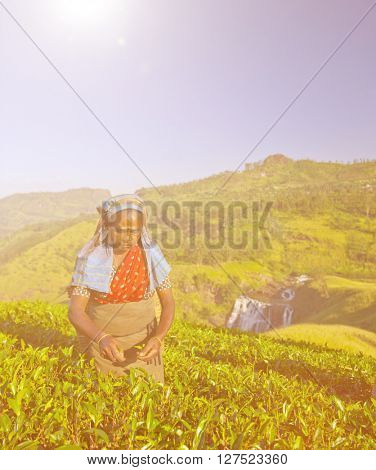 Tea picker picks leaves Concept