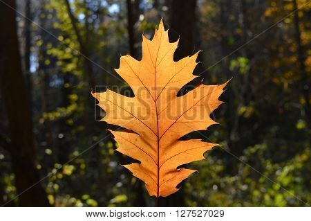 One fallen maple leaf in the autumn forest
