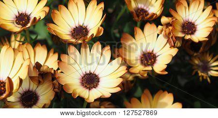 Pale creamy yellow Osteospermum daisy flowers in a bunch