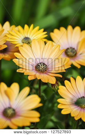 Pale yellow Osteospermum daisy flowers in closeup