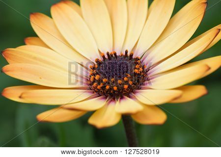 Pale yellow Osteospermum daisy flower in closeup, featuring the pollen-filled stamens