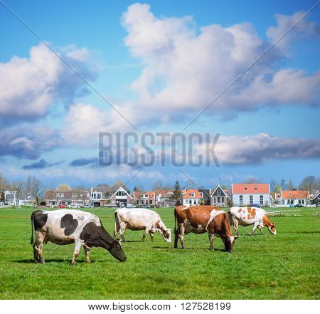 Happy cows on an open sunny field with green grass.