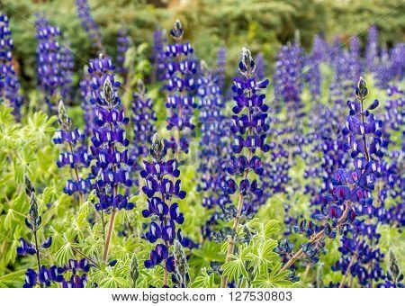 Flowering wild lupine blue flowers in park of Jerusalem Israel