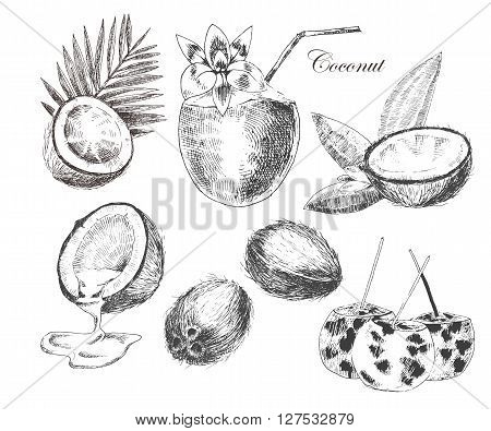 vector coconuts hand drawn sketch with palm leaf. vintage style detailed ink and pencil illustrations