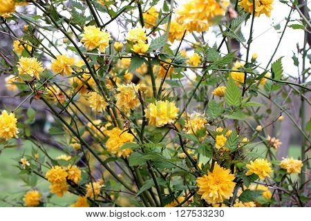 overlooking a beautiful shrub with yellow flowers