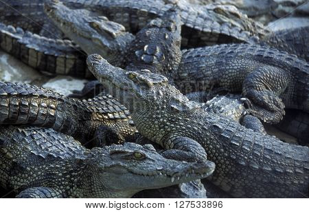 a crocodile farm near of the Town of Sihanoukville in cambodia in southeastasia.