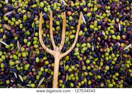 Olives texture in harvest picking with net and wooden fork at Mediterranean
