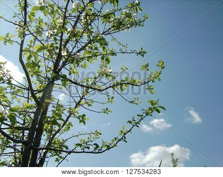 Young apple tree against the sky. In light sky floating clouds.