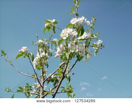 The branch of apple trees against the sky. The sky light clouds. ** Note: Soft Focus at 100%, best at smaller sizes