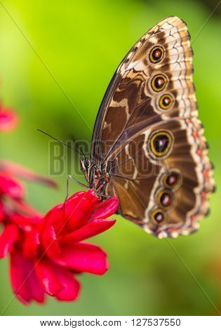 Blue morpho (morpho peleides) on green nature background, close-up.
