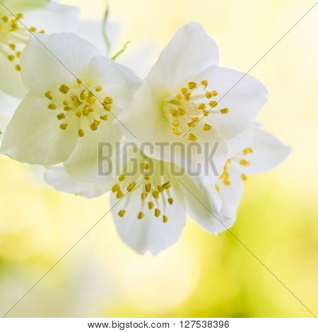 Blooming jasmine bush close up. Nature background