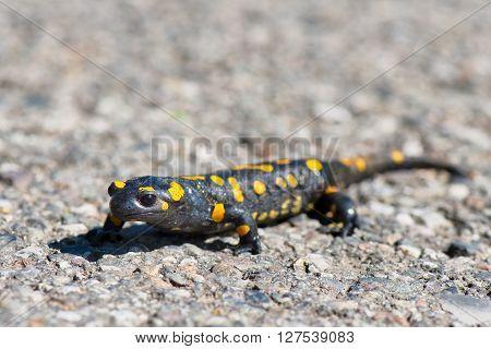 Closeup of salamander walking in the street