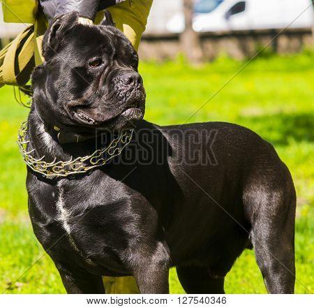Cane Corso dog stand on grass animal