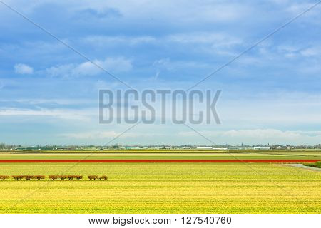 Vibrant landscape background of yellow daffodil and red tulip flowers field, trees row, blue cloudy sky