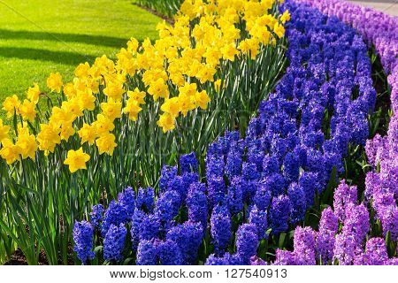 Colorful  purple  lilac hyacinth and yellow  daffodil flowers blossom in dutch spring garden Keukenhof, Lisse, Netherlands