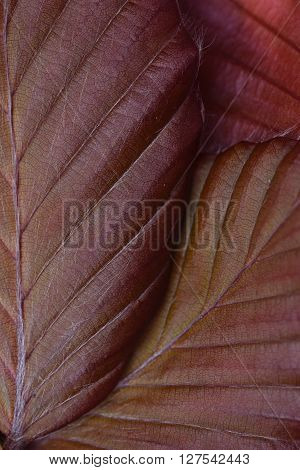 Close up group fresh spring beech leaves