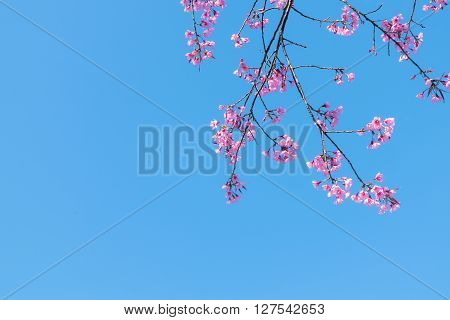 Wild Himalayan Cherry (Prunus cerasoides) tree branches canopy. Copy space