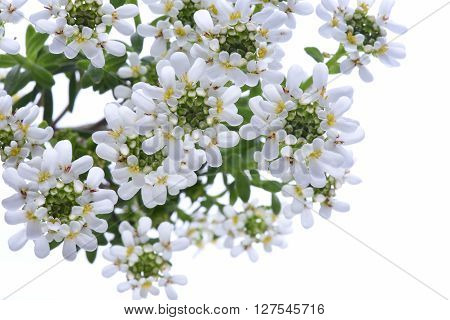 Candytuft Iberis sempervirens isolated on white background