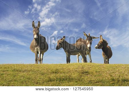 Drove of donkeys playing in the green meadow
