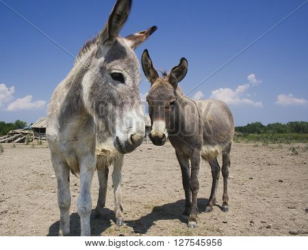 Mother and baby donkeys on the farm