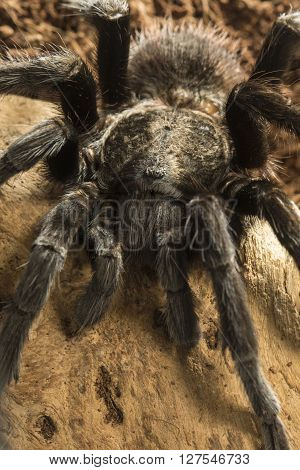 Closeup of mexican black velvet poisonous tarantula