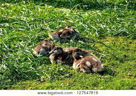 four wild goslings in green grass cuddling