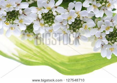 White candytuft flowers with green leaves on white background